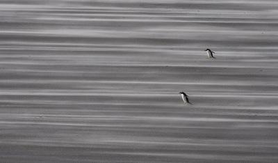 Gentoo_penguins_in_50mph_wind_3