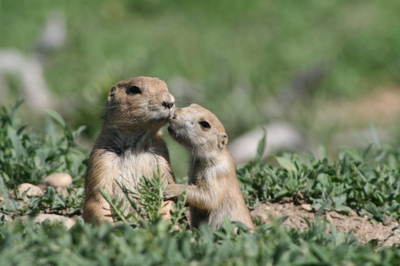 Prairie_dog_terry_gold
