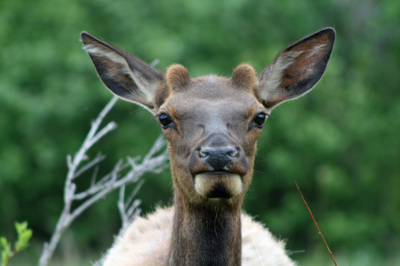 Elk_terrygold